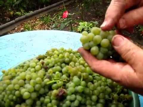 Как сделать вино в домашних условиях из зеленого винограда