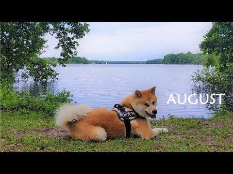 Akita Inu - August Story (秋田犬)