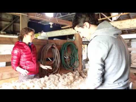Après la tonte, on nettoie la laine des moutons! - fleece cleaning after sheep shearing!