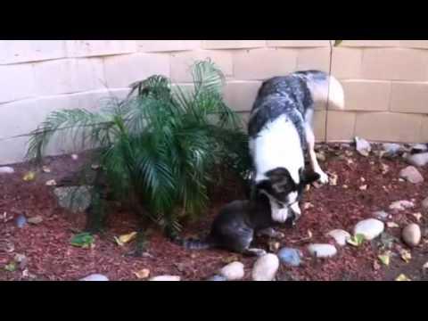 Bengal cat chases big Malamute/Husky