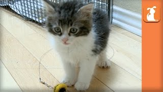 Rescue Kitten with Manx Syndrome Wears Diapers and Needs Special Home