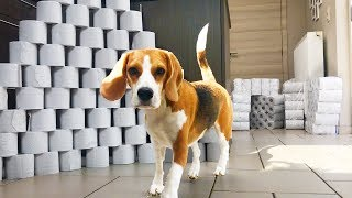 Best Dog Birthday Surprise : 1000 TOILET PAPER ROLLS! Cute Dog Marie thumbnail