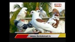 IBN Lokmat Special show Kabutranchi Dhabal