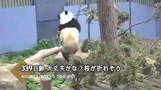 ☆ Cute Panda ☆ #14 シャンシャン 枝が細くて折れそう…
