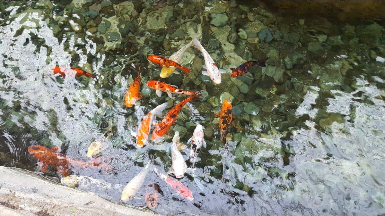 Large tilapia koi pond diy heater youtube for Koi pond temperature