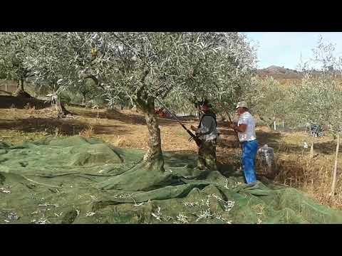 Assares, récolte des olives en nov