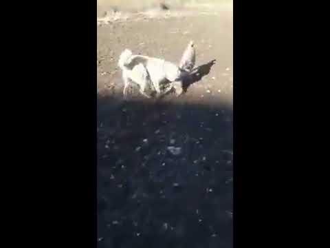 kangallar tilkiyi parçalıyor