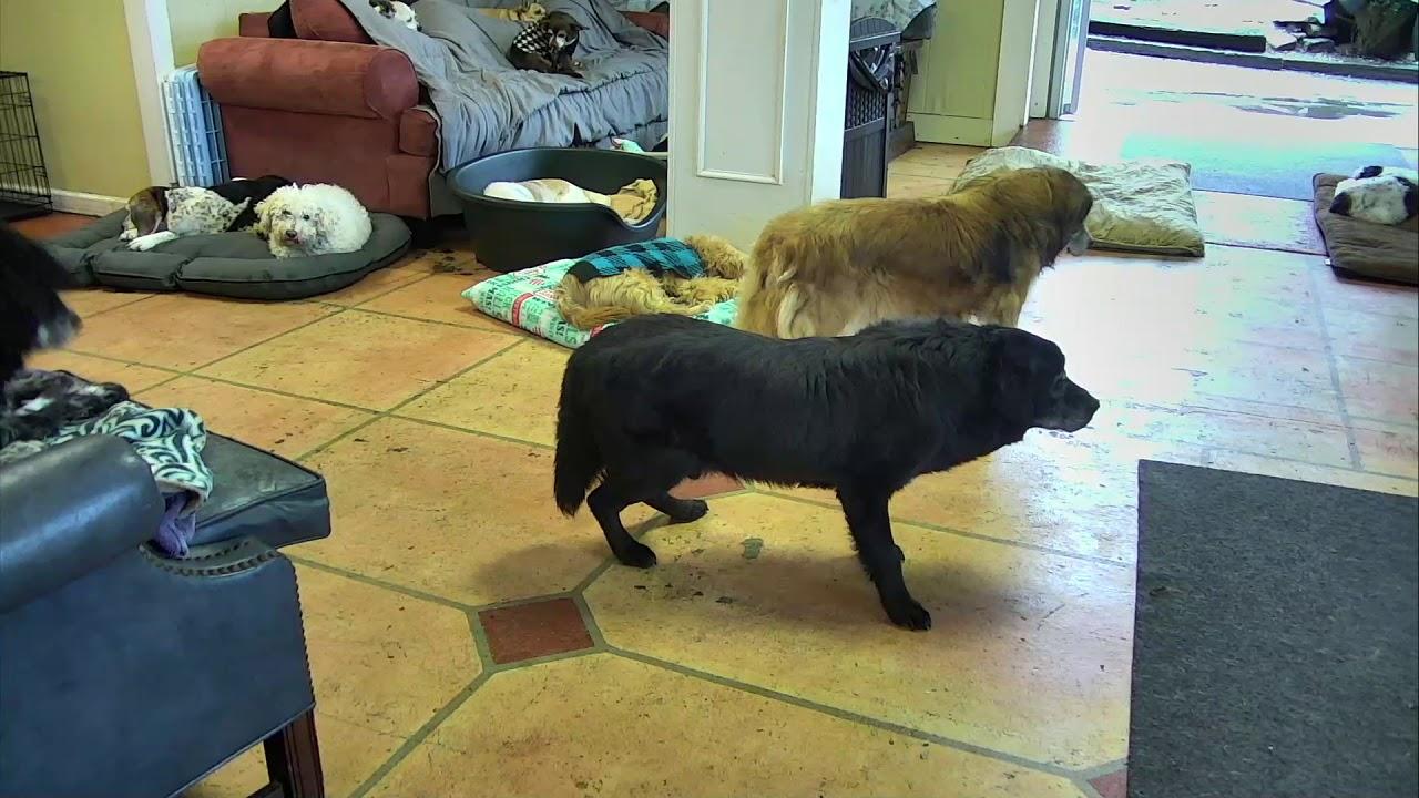 Senior Dog Gathering Room Cam 12-22-2017 10:51:28 - 11:51 ...