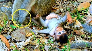 Baby monkey Gino is very boring, Big Bertha stops her baby walk to leave from mom thumbnail