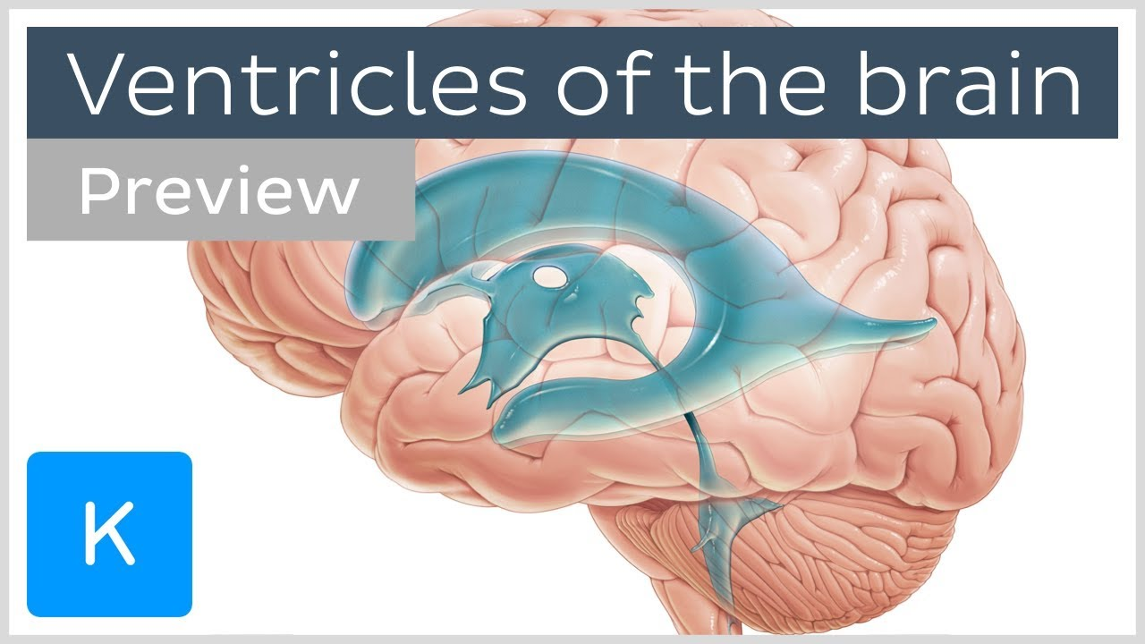 Ventricles Of The Brain And Csf Preview Human Neuroanatomy
