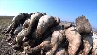 Охота на гусей на разливах. Сезон 2017