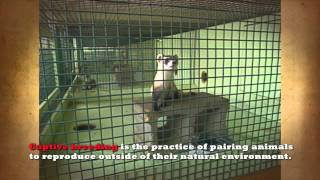 Black-Footed Ferrets: Captive Breeding