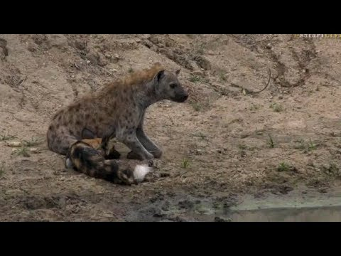 Safari Live : The injured Wild Dog being tormented by a lone Hyena Dec 10, 2017