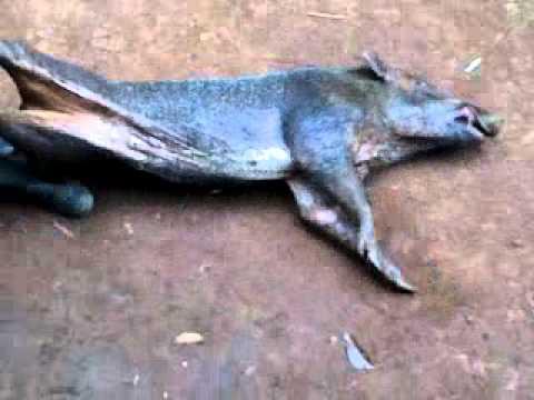 Adu Bagong sumedang sampai mati