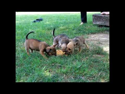 Jack Russell Terrier Mix Puppies For Sale Reuben Beiler