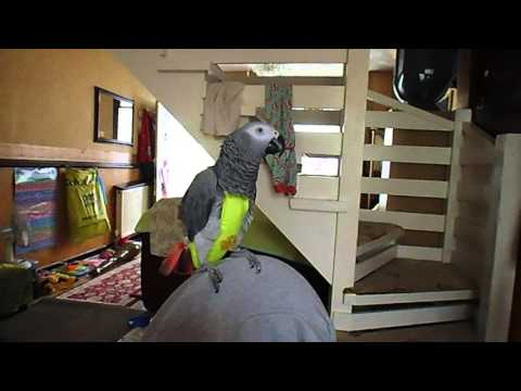 Jerry african grey parrot chatterbox