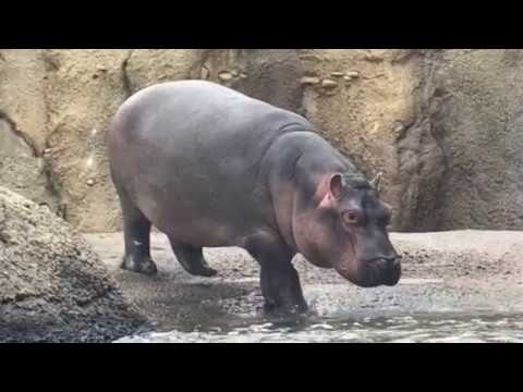 Baby hippo Fiona at the Cincinnati Zoo