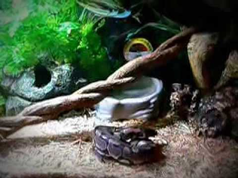 How to keep the humidity up in your Ball Python enclosure. (How to care for a Ball Python)