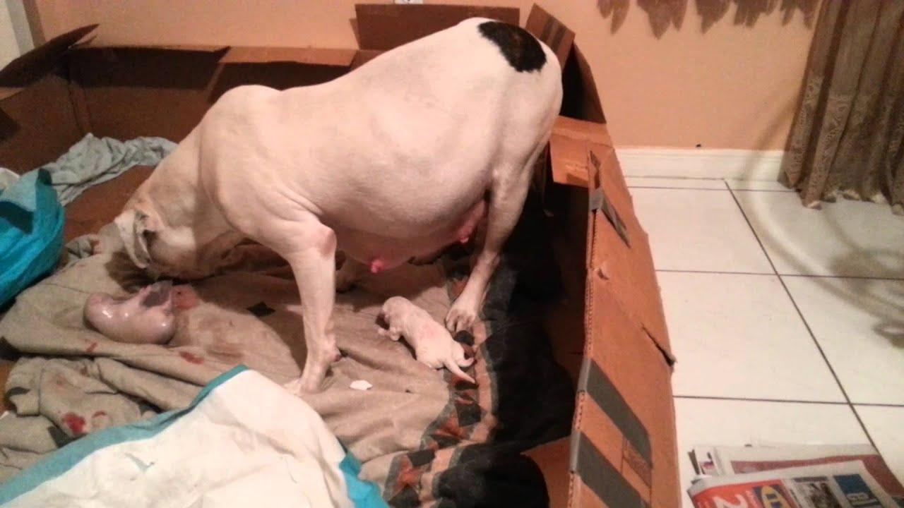 american bulldog giving birth hd geena   youtube