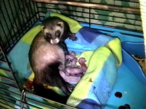 Ferret birth/ birth of ferret babies/ ferret giving birth/ ferret having babies