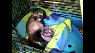 Ferret birth/ birth of ferret babies/ ferret giving birth/ ferret having babies