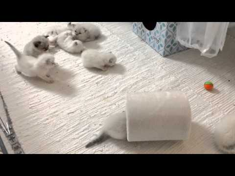 Ragdoll kittens playing part 2