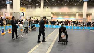 大阪インター フレンチブルドッグ♀チャンピオン戦 バダ君の姪っ子のAby...