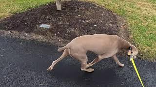 Weimaraner encounters some Canadians [dog]