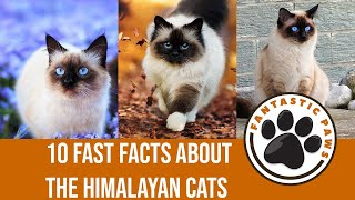 10 Fast Facts About the Himalayan Cats  Fantastic Paws
