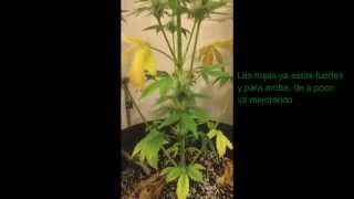 Cultivo de Marihuana - moby dick xxl - white widow xxl - sweet skunk auto - Dia 62 - Indoor