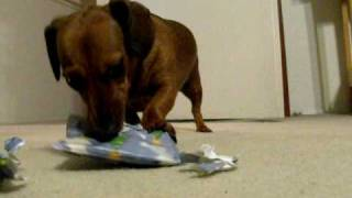 Dachshund Opens Christmas Gifts 1