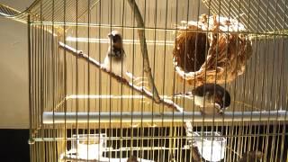 Nhac Vang | Chim hoàng yến hót cực hay | Chim hoang yen hot cuc hay