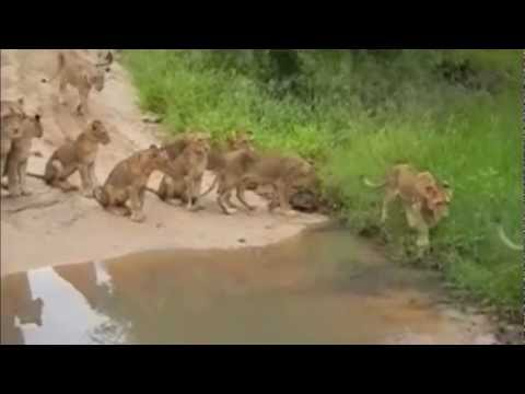 Lions Vs Wild Dogs Youtube