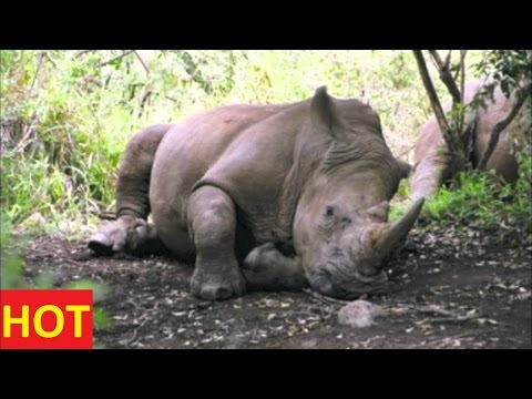 Animals Documentary discovery channel ANGRY RHINO ATTACKS HYENA Special NATIONAL GEOGRAPHIC Full New