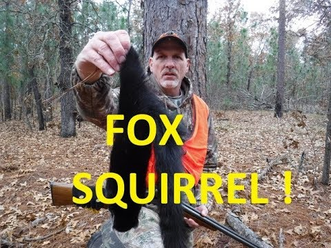 Hunting For Black Fox Squirrels ! North Carolina Fox Squirrel -  Squirrel Hunting With A Shotgun