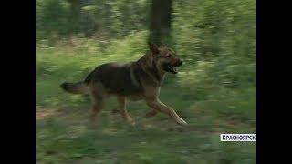 В Красноярске собака спасла девушку от медведя