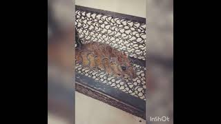 Paano manghuli ng Daga|How t๐ catch mouse using Mouse Trap