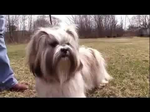 Dogs 101 Lhasa Apso.flv
