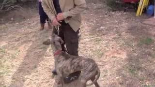 Dog Pulling On No-pull Harness