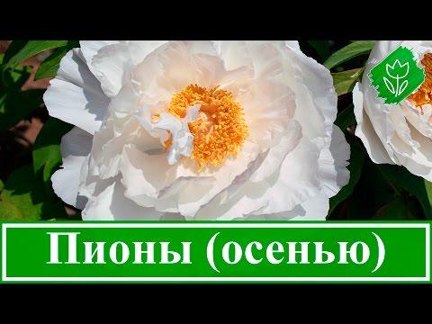 Цветы пионы – посадка и размножение пионов осенью; когда пересаживать пионы