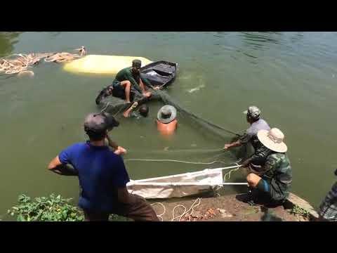 Catch Pangasius Catfish 30kg
