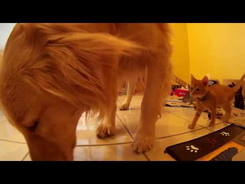 Dog Searching Kitten Play Zone For Food - Foster Kittens Watching & Following - 5 Weeks Old