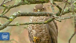 Sparrowhawk Documentary