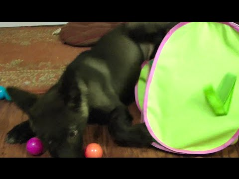 Wolf Pup In A Ball Pit ...he's doing it wrong, but he doesn't care