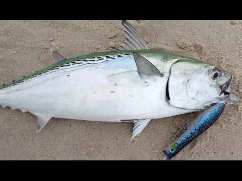 Surfcasting slam bass blue false albacore by john for John skinner fishing
