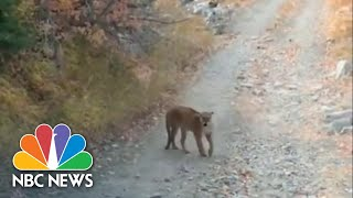 Hiker Speaks Out After Terrifying Cougar Chase On A Utah Mountain | NBC Nightly News
