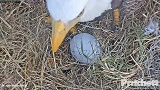SWFL Eagles ~ First Egg! Harriet's Labor & Delivery 11.19.17 (2) thumbnail