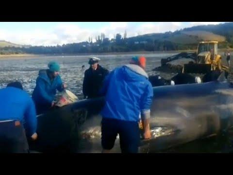 شاهد: إنقاذ حوت طوله 10 أمتار جنح على شاطئ تشيلي  - نشر قبل 17 دقيقة