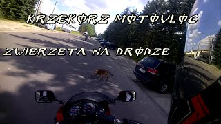 Zwierzęta na drodze, Jak postępować, jak unikać ugryzień. Krzekorz Motovlog #9
