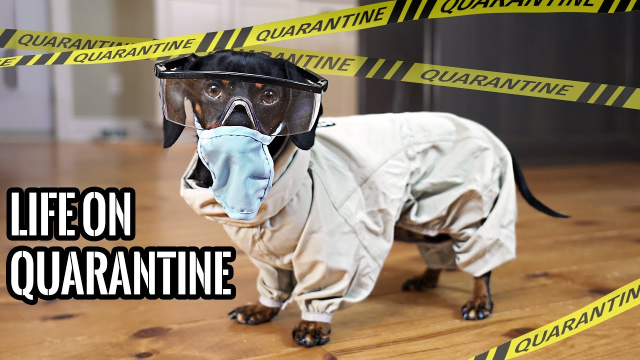 Download Ep#1: QUARANTINE LIFE - Funny Wiener Dogs Staying Home!